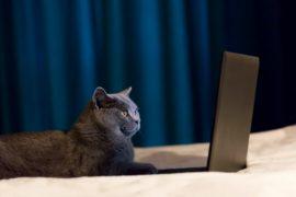 British Shorthair cat working on laptop